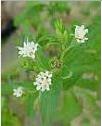 Стевия (Stevia Rebaudiana) уникальный био-подсластитель