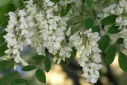 Акация цветки 25гр - фото 4264
