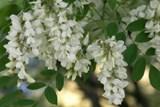 Акация цветки 25гр